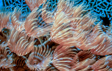 Sabellidae,feather duster worms