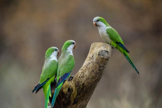 Parakeet,feeding on wild fruits, La Pampa, Patagonia, Argentina
