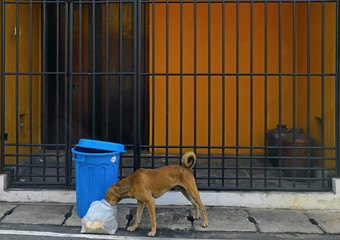 A dog searches a garbage bag next to a bin on a main road in Colombo