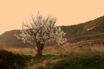 Primavera floración almendros flores fondos zen polinización atardecer luz post