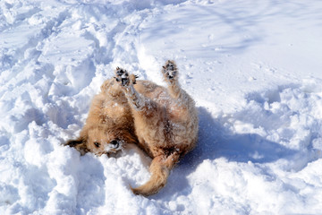 Big brown fluffy dog plays in the snow