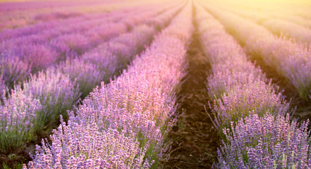 Sunset over a summer lavender field, looks like in Provence, France. The Lavender field. Beautiful image of lavender field over summer sunset landscape.