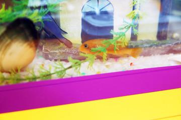 Tropical colorful fishes swimming in aquarium with plants . Orange fish in the aquarium . Goldfish, aquarium, a fish on the background of aquatic plants .