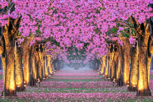 Wall mural Rows of Beautiful pink flowers trees.