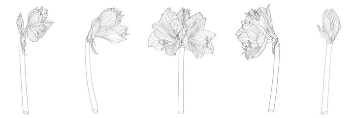 Decorative clivia amaryllis branch flowers set, design elements. Can be used for cards, invitations, banners, posters, print design. Floral background in line art style.