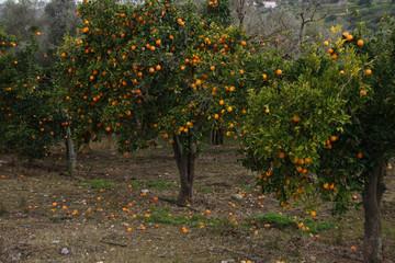 Orange plantation in Cyprus, fresh oranges on orange tree fruits