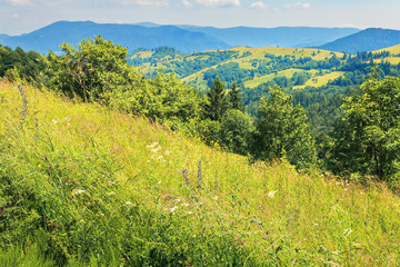 mountainous countryside on a hot summer afternoon. grassy slope with wild herbs and trees. meadows on the distant rolling hills. sunny weather