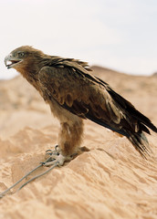Bird of prey standing with a rope around its leg on a sand dune.