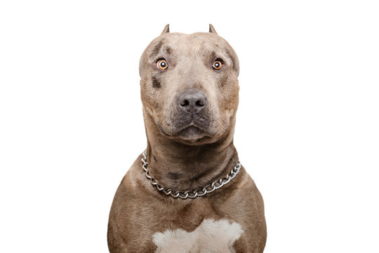 Portrait of a pitbull dog isolated on white background