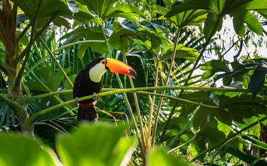 Photo sur cadre textile Toucan Close-up Toco Toucan. Misiones, Argentina.