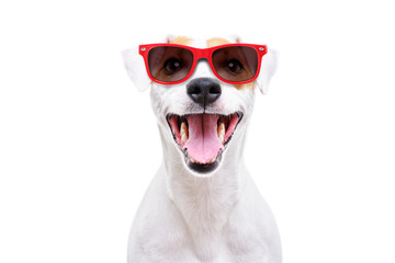 Portrait of a funny dog Jack Russell Terrier in sunglasses isolated on white background