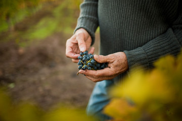 A winemaker picking grapes in his vineyard.