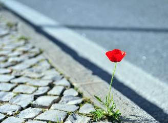 Beautiful poppy growing in asphalt