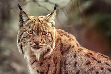Aluminium Prints Lynx Lynx