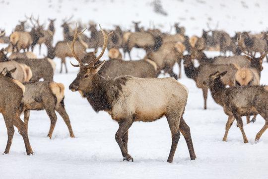 Elk gathering at the Oak Creek Wildlife Area Feeding Station in Naches, WA