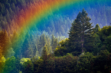 Pine Forest During Rainstorm Lush Trees Rainbow