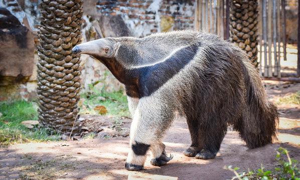 Giant anteater walking in the farm Wildlife Sanctuary