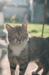 Homemade gray tabby cat at sunset. The cat looks up and straight. Yellow-green blurred background with circles. Cat face close up. Pet in nature. Bokeh. Village, park. Summer.