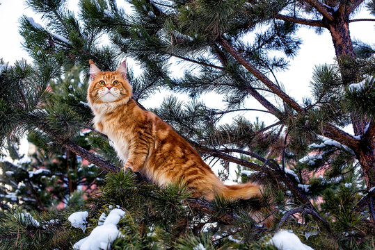 A big red and white maine coon cat sitting on fir tree in winter snowy forest.