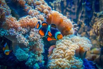 A clown fish between corals