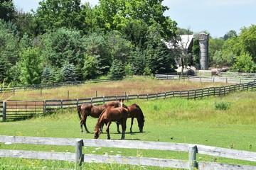 Three Brown Horses Grazing