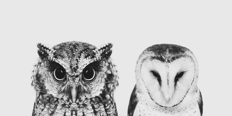 Fotobehang Uil The most common owl species in the world. High resolution photo of an owl.