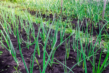 Fresh garlic and onion sprouts grow from the ground. Gardening, harvest in the garden. Healthy and vegetarian food