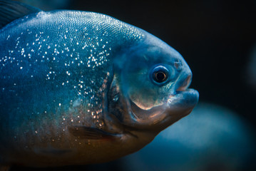 Portrait of predatory piranha fish in the zoo aquarium.