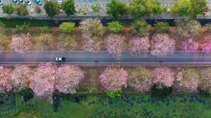 Wall Mural - Aerial view rows of pink flowers trees.
