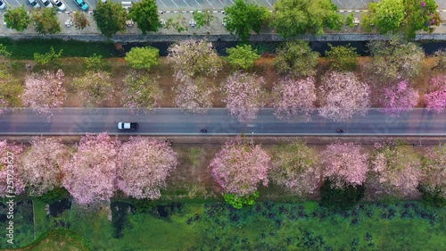 Wall mural Aerial view rows of pink flowers trees.