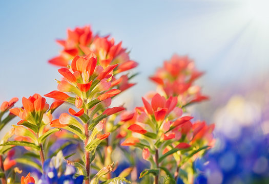 Close-up of Indian Paintbrush wildflowers. Texas bluebonnets in the background against blue sky.