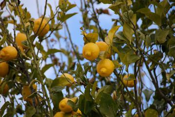 Ripe Lemons on Lemon Tree on plantation in Cyprus