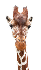 A curious giraffe looks into the camera,close up,  cut out