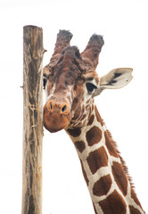 Giraffe looks into camera while standing and rubs itself off a wooden pole and licks it