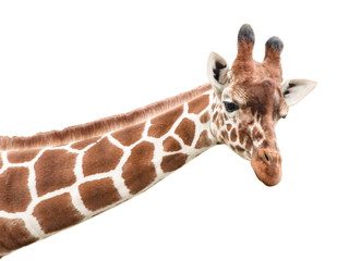 Portrait of a young giraffe, cut out