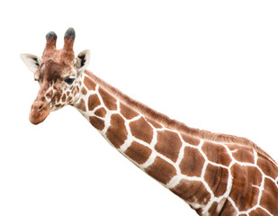 Portrait of a young giraffe and its long neck, cut out