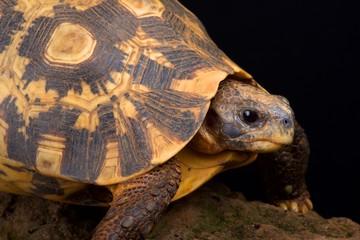 Wall Mural - Bell's Hinged tortoise (Kinixys belliana)