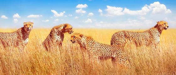 Wall Mural - Group of cheetahs in the African savannah. Africa, Tanzania, Serengeti National Park. Banner design.