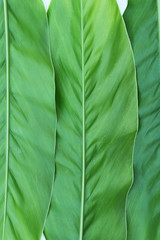 Green Galangal leaf background