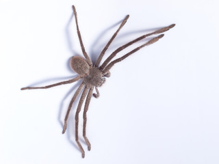 Huntsman spider (family Sparassidae) on white background