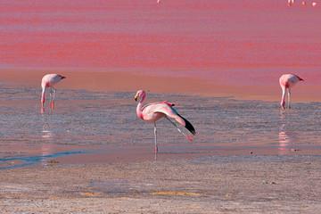 Foto op Canvas Flamingo Pink flamingo in Bolivia