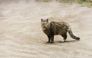 Brown fluffy cat standing on a sandy empty road.