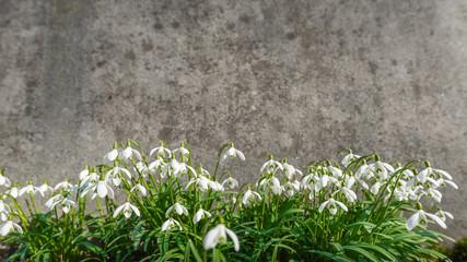 Schneeglöckchen mit einer Textur einer zerkratzten, alten Betonwand als Hintergrund als Werbefläche