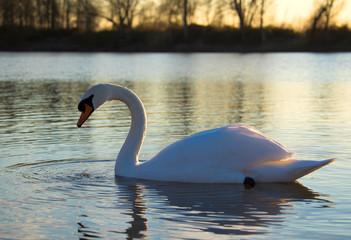 Mute swan swimming on a lake