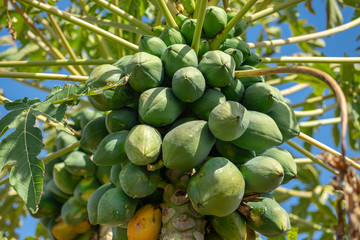 Papaya fruits, or pawpaw, growing on a tree