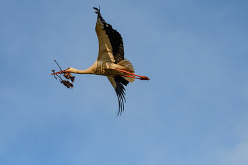 white stork, Ciconia ciconia, flying