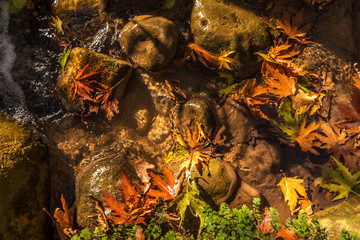 autumn leaves in the water