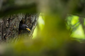 Sturnus vulgaris. The wild nature of the Czech Republic. Free nature. Picture of a bird in nature. Beautiful picture. Bird in the woods. Deep forest. Mysterious Forest. Wild. From bird life. Spring na
