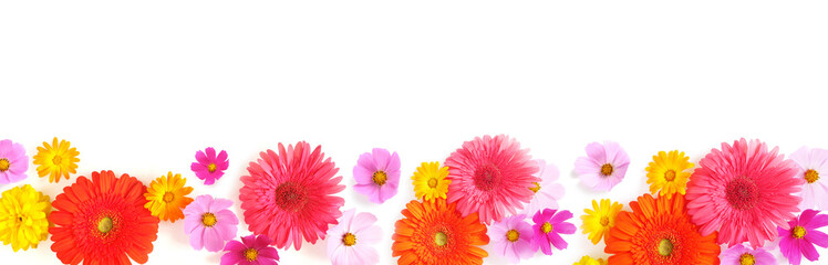Fototapete - Banner, a border from multi-colored flowers: gerbera, cosmos, isolated on a white background, top view. The concept of summer, spring, Mother's Day, March 8.