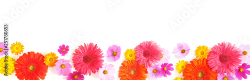 Banner, a border from multi-colored flowers: gerbera, cosmos, isolated on a white background, top view. The concept of summer, spring, Mother's Day, March 8.